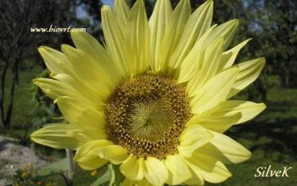 Suncokret - idealna biljka za svaki vrt