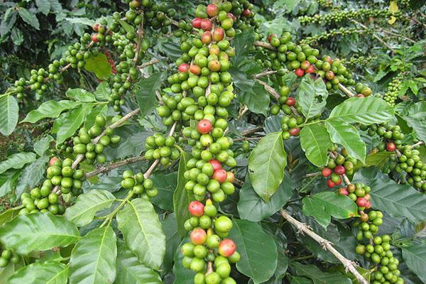 Zelena kava mora imati minimalno 45% klorogenične kiseline