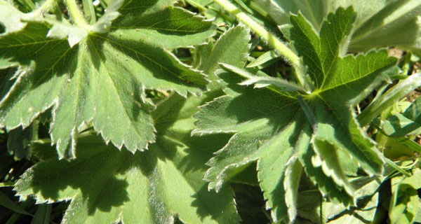 Vrkuta - biljka za žene