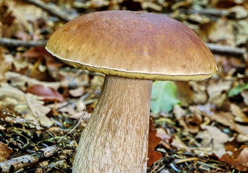 Mali vodič za branje jestivih gljiva