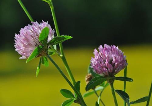 Gynex – 13 ljekovitih biljka u službi zdravlja
