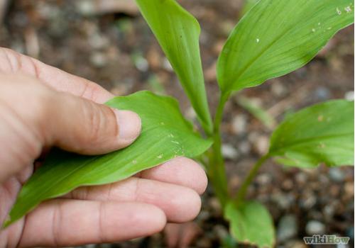 Đumbir - ljekovita riznica u vašem vrtu