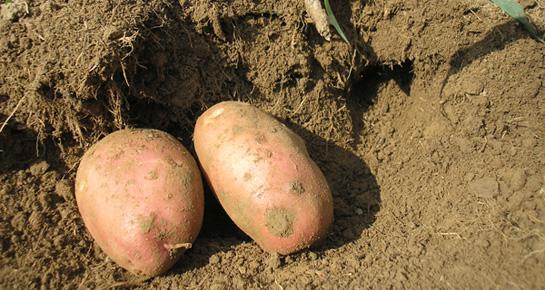 Kad je pravo vrijeme za berbu krumpira?
