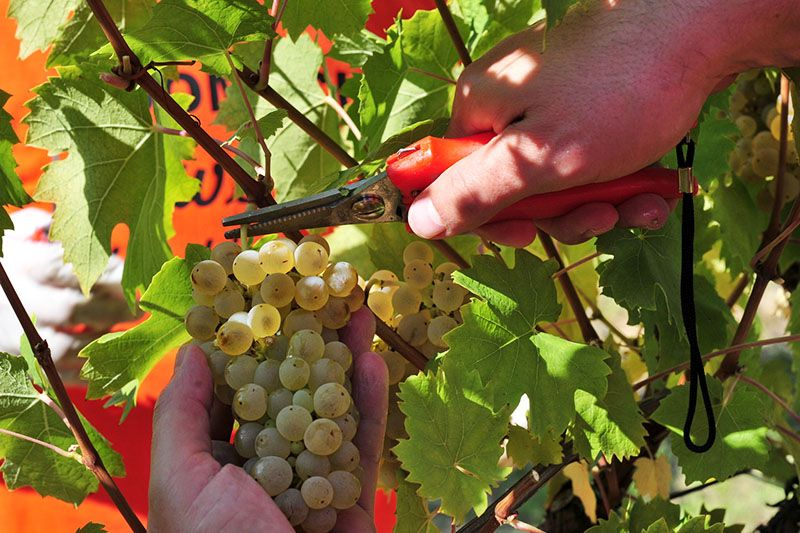 Feričanci: Nezaobilazna destinacija za sve ljubitelje dobrog vina