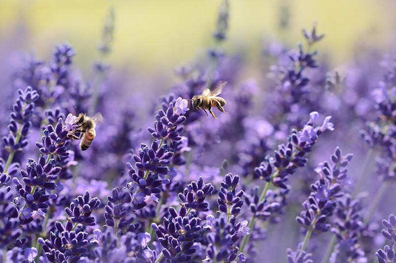 Pčele su pronašle utočište na neočekivanom mjestu – krovovima Pariza