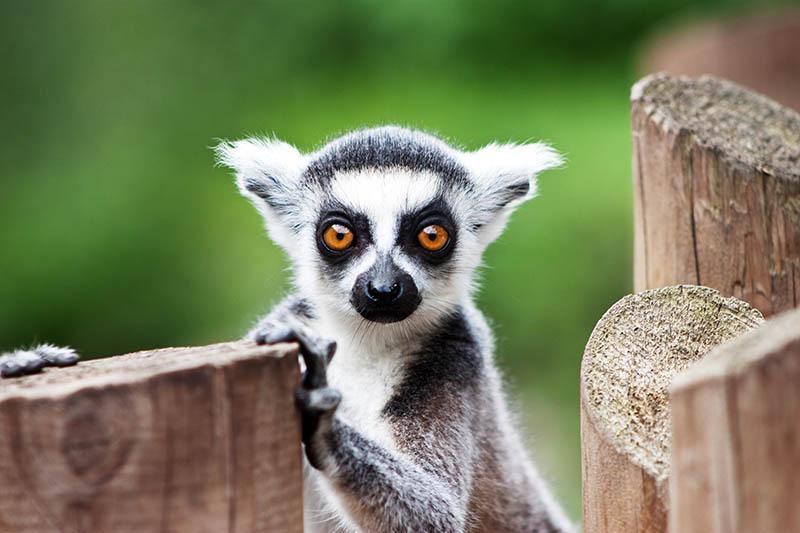 VIDEO: Biste li vježbali jogu s lemurima?