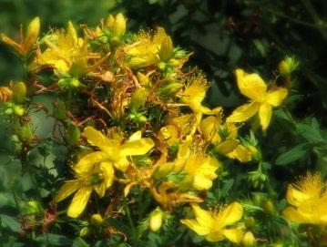 Gospina trava: biljni antidepresiv