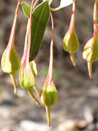 Još jedna vrsta eukaliptusa