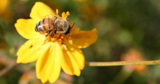 Posadi cvijet za pčelinji svijet